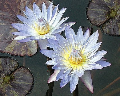STAR OF SIAM (M-L)Tropical Water Lily-Day Blooming (Blue)