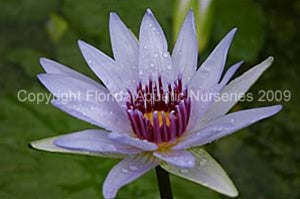 Wood's Blue Goddess (M-L) Tropical Water Lily Day Blooming (Blue)
