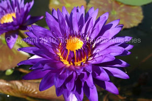 Nymphaea 'Tanzanite' Tropical Waterlily Day Blooming