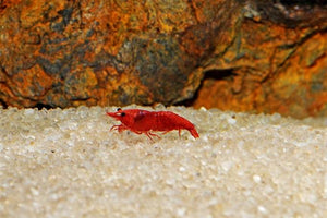 Bloody Mary Shrimp (Neocaridina davidi var. Bloody Mary) 10 per Order
