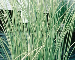 RUSH, WHITE (Scirpus albescens) Hardy Marginal Plant (Qty of 6)
