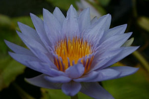PAMELA (M-L) Tropical Water Lily Day Blooming (Blue)