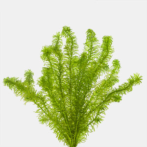 Anacharis Narrow Leaf (Egeria najas)