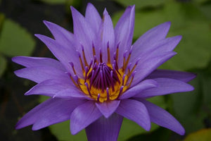 DIRECTOR GEORGE T. MOORE (M) Tropical Water Lily-Day Blooming (Purple)