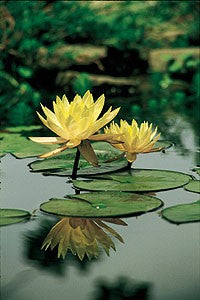 Texas Dawn (M) Hardy Water Lily (Yellow)