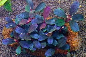 "Bucephalandra sp. ""brownie"" blue"""