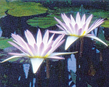 HILARY (M) Tropical Water Lily-Day Blooming (Lavender)
