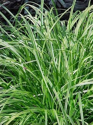 SEDGE (Carex spp.) Hardy Marginal Plant (Qty of 6)
