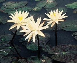 Starbright (M) Hardy Water Lily (White)