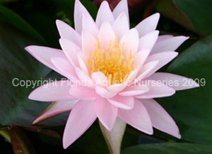 Pink Sunrise (M) Hardy Water Lily (Pink)