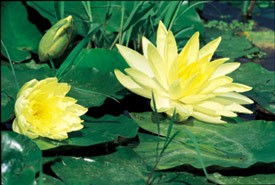 Sunrise (M) Hardy Water Lily (Yellow)