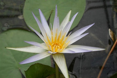 CAERULEA (M-L) Tropical Water Lily Day Blooming (Blue)