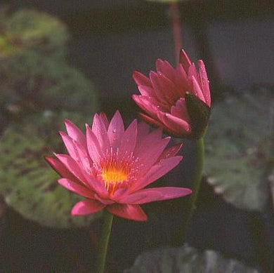 CHARLIE'S PRIDE (M) Tropical Water Lily-Day Blooming (Red)