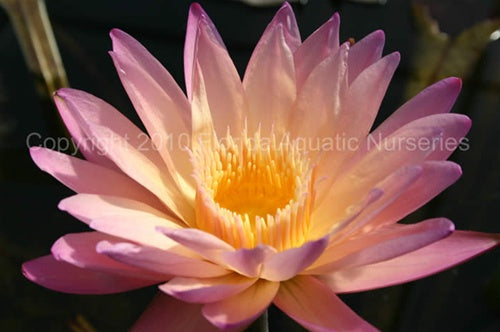 Nymphaea 'Tropic Sunset' (M-L) Tropical Waterlily Day Blooming