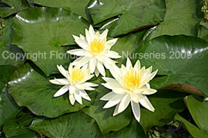 Sulphurea (M) Hardy Water Lily (Yellow)