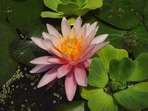 DALLAS (M) Hardy Water Lily (Pink)
