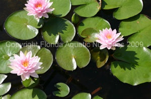 MME. Wilfron Gonnere (M-L) Hardy Water Lily (Pink)