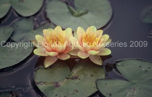 CHRYSANTHA (SM) Hardy Water Lily (Changeable)