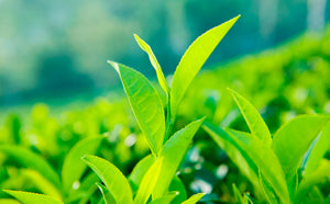 Skincare for athletes. Green tea has many strong antioxidants and nutrients that are good for your skincare routine.