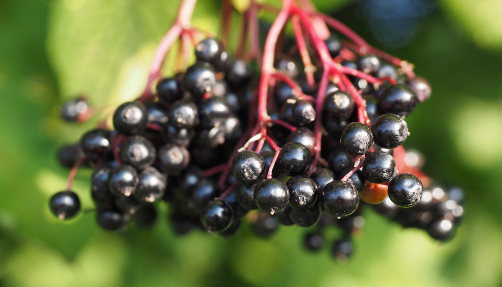 Elderberries – A Powerful Purple Fruit
