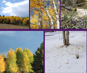 Straight Hooked Aspen Trees in Fall Collage
