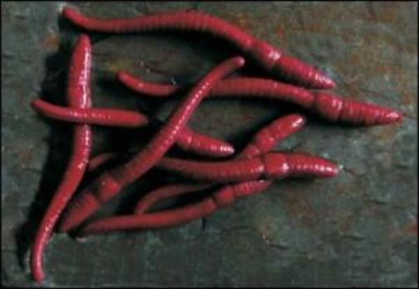 Enterprise Tackle Imitation Red Worms