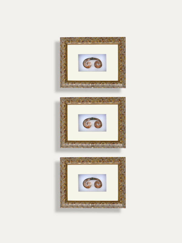 Set of 3 Frames with Septum Tusks from Papua - kirschon