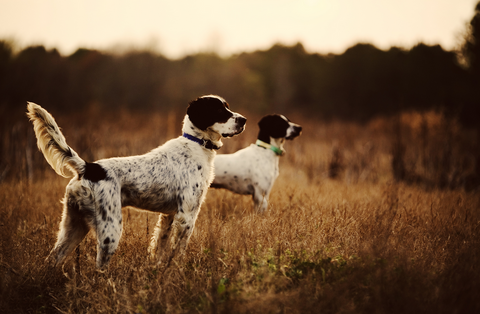 Training Hunting Dog With an E-Collar