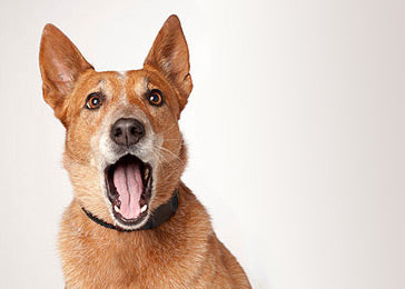 Stop excessive barking using e-collar