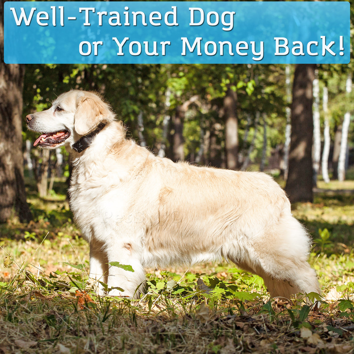 Golden retriever with dog training collar. Well trained dog or your money back!