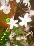 organic pink jasmine vine is hihgly fragrant, skin loving and enjoyed by bees