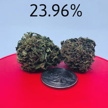 Load image into Gallery viewer, Close view of industrial hemp bud on red background comparing size of bud against a US silver quarter.