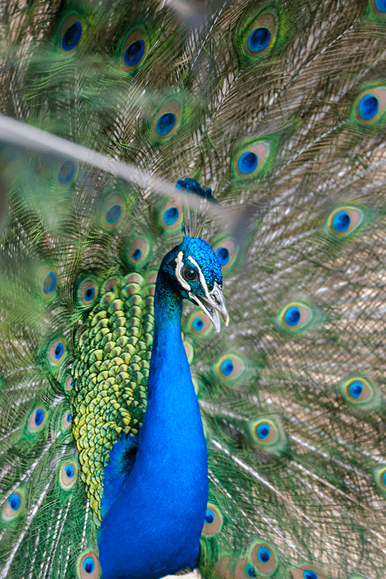 Lavilo™ Greeting Cards - Peacock