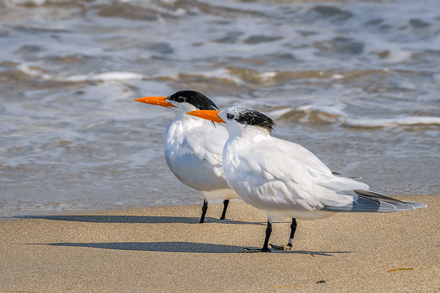 Lavilo™ Greeting Cards - A Pair of Royal Terns Along the Beach