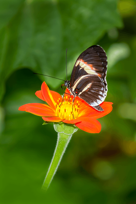 Lavilo™ Greeting Cards - Piano Key Butterfly on a Mexican Sunflower