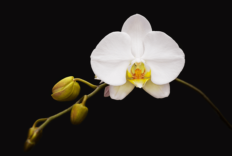 Lavilo™ Greeting Cards - White Orchid