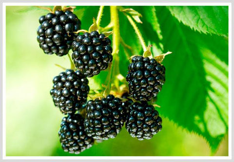 Black Raspberries enhance sexual endurance