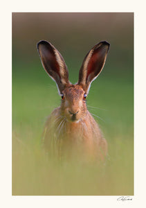 """Evening Hare"""