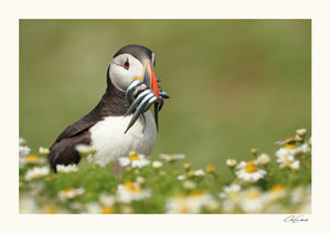 """Puffin Lunch"""
