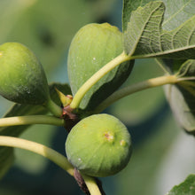 Turkish Figs (Calimyrna)