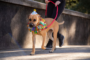 Celebration/Birthday Hat & Collar Set for  Large Dogs