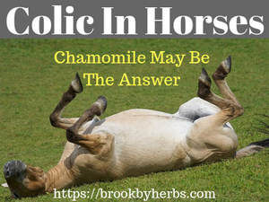 Chamomile for Colic In Horses