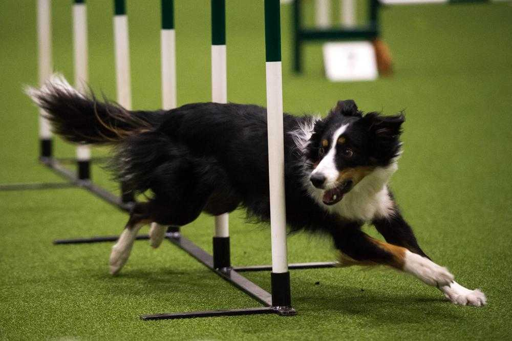 Agility in Dogs Can be Improved with Natural Herbs