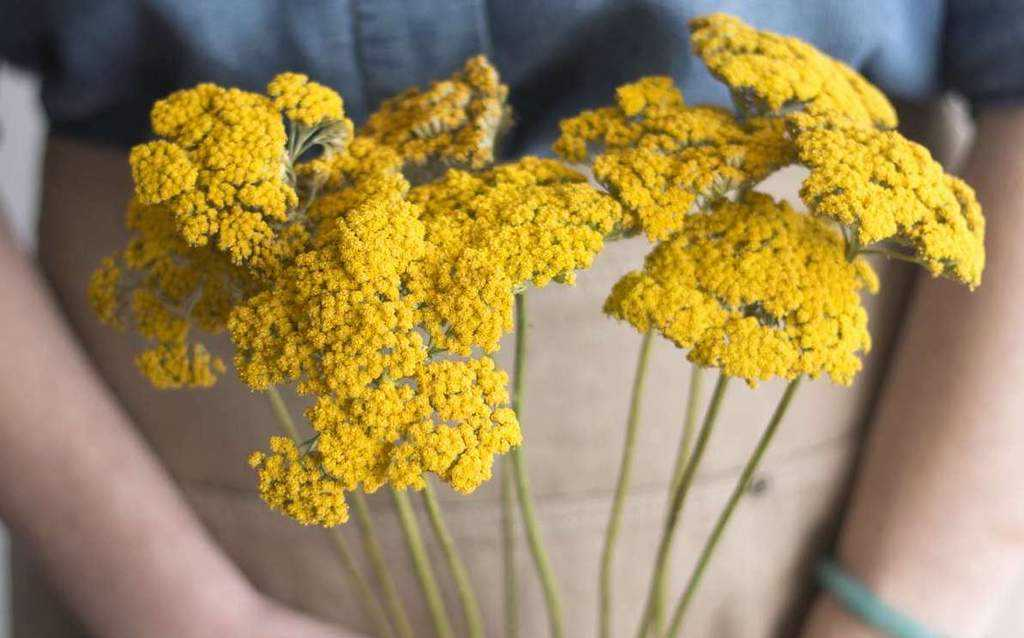 Yarrow -A Herbal Alternative