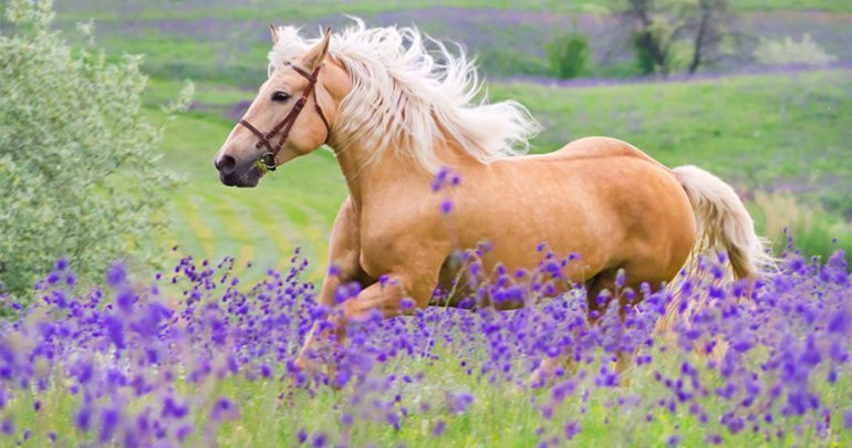 Abcesses in Horses- Lavender Can Help