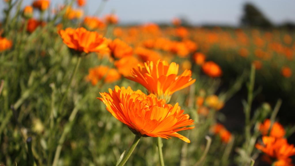 Orange calendula or marigold flowers growing in the field