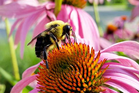 Bee on a pink echinacea flower