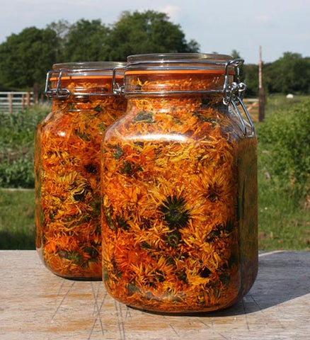 Marigold flowers infusing in oil in glass jars