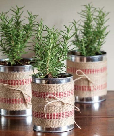 Upcycled cans with rosemary plants