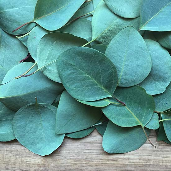 Green eucalyptus leaves